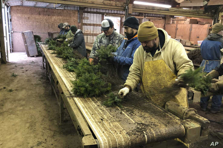 In this Dec. 5, 2019 photo, workers, including Daniel Garibay, right, sort Christmas tree seedlings at Hupp Farms in Silverton,…