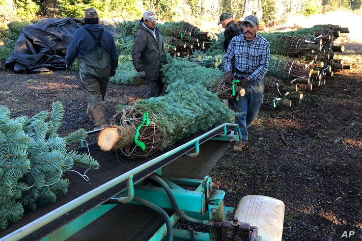 In this Dec. 5, 2019 photo, workers — most of them from Mexico — load Christmas trees onto a truck at Hupp Farms in Silverton,…