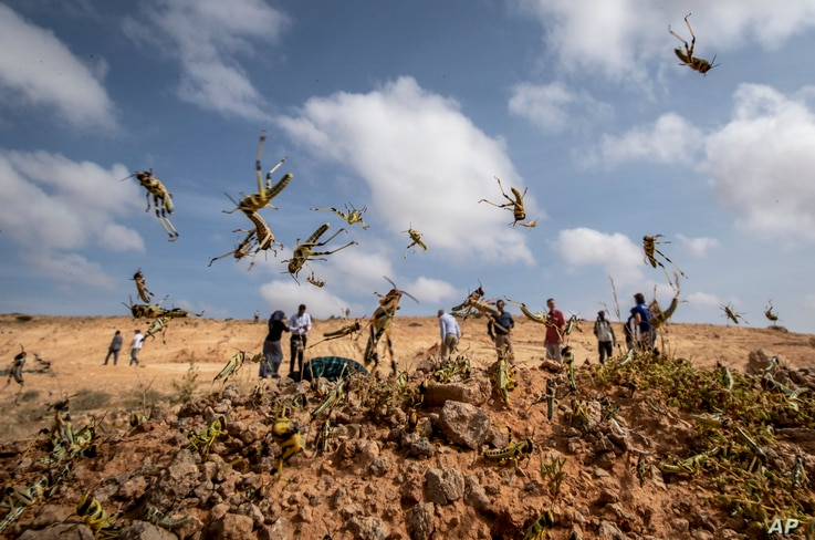 In this photo taken Wednesday, Feb. 5, 2020, young desert locusts that have not yet grown wings jump in the air as they are…