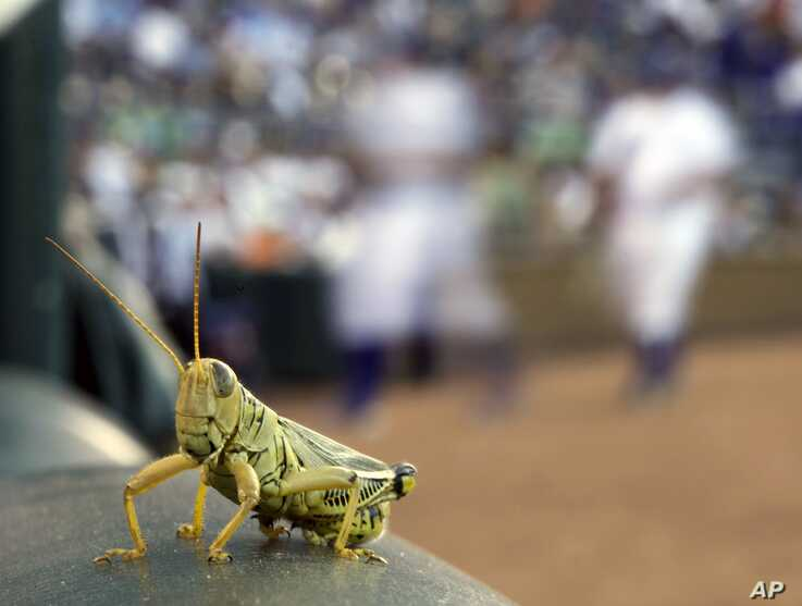 A grasshopper rests on a rail outside the Kansas City Royals dugout during the first inning of a baseball game against the…