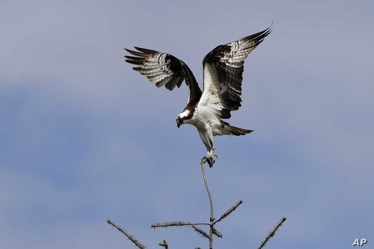 An osprey unsuccessfully tries to land on a twig-size branch atop a tree along the Cedar River next to Renton Municipal Airport…