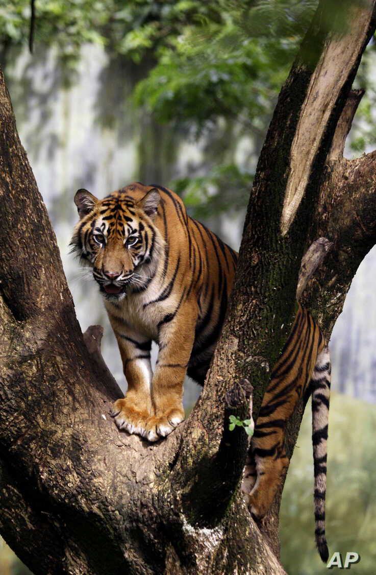 A Sumatran tiger stands on a tree at a zoo in Medan, North Sumatra, Indonesia, Tuesday, Nov. 13, 2012.  There are only around…