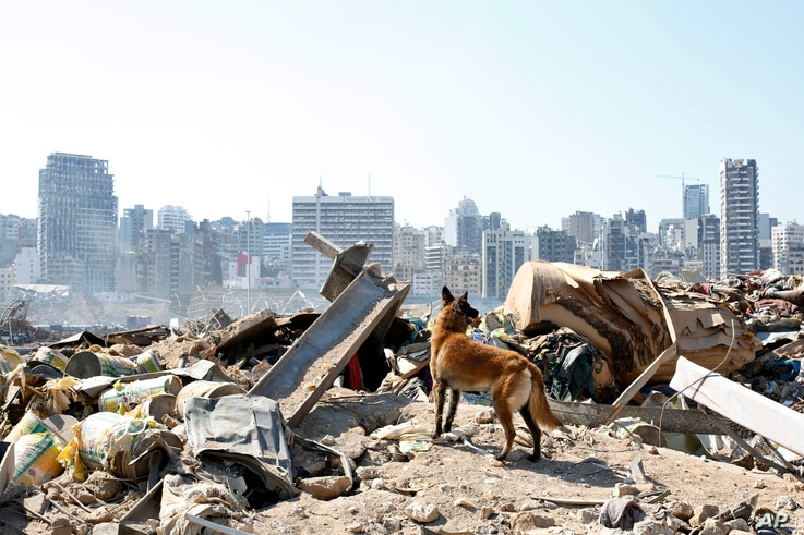 A dog of the French rescue team searches for survivors at the scene of this week's massive explosion in the port of Beirut,…