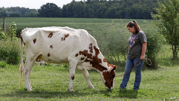 Arrissa Swails lets her cow, Honey, snack in the backyard, Tuesday, Sept. 1, 2020, near Jenera, Ohio. This week, she'd be…