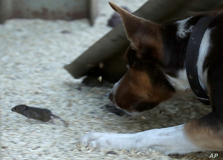Hank, a working dog turned mouser, chases a mouse on a farm near Tottenham, Australia, on May 19, 2021. Vast tracts of land in…