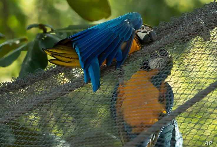 A blue-and-yellow macaw that zookeepers have named Juliet, left, grooms with a captive macaw at BioParque, in Rio de Janeiro,...