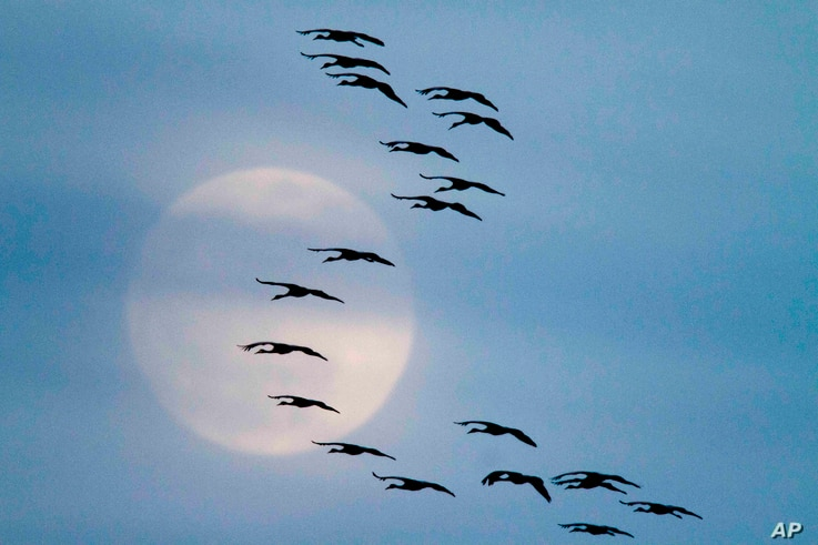 FILE -  In this Friday, March 18, 2011 photo, Sandhill cranes fly in formation in front a nearly full moon near Alda, Neb…