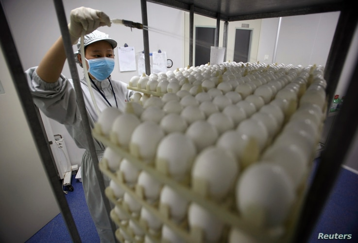 A staff works at an egg testing workshop of Sinovac Biotech Ltd., a Chinese vaccine-making company, during the production of a…