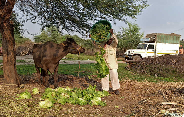FILE PHOTO: A farmer feeds iceberg lettuce to his buffalo during a 21-day nationwide lockdown to slow the spread of coronavirus…