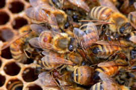 Beekeepers want to keep the parasitic varroa mite, the little brown spot seen on the bee, out of their hives. (BugMan50 Brad Smith, Creative Commons)