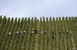 People harvest grapes in the Appellation d'Origine Controlee Cote-Rotie vineyard in Ampuis near Lyon, southeastern France.