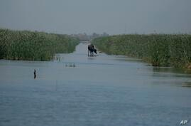 A water buffalo walks on the remnants of an old military road built in the marshes by Saddam Hussein during the Iran-Iraq war,…