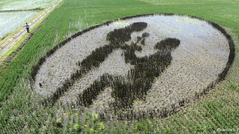 A man walks by a mural made of rice plants at a paddy field in Shenyang, Liaoning province, China.