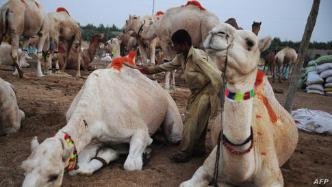 A Pakistani livestock trader brushes his camels at an animal market ahead of the Muslim festival Eid al-Adha in Karachi.