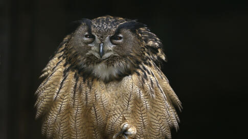 An eagle owl fluffs out its feathers as it sits on one foot on a branch in its enclosure at the Grugapark in Essen, Germany.