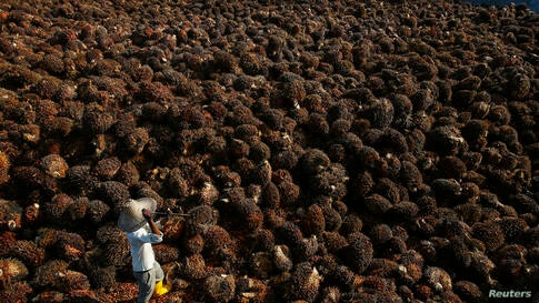 A worker collects palm oil fruit in Sepang, outside Kuala Lumpur, Malaysia.