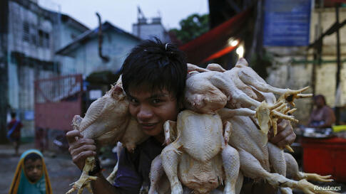 A man carrirs chickens at a chicken wholesale market in Rangoon, Burma.