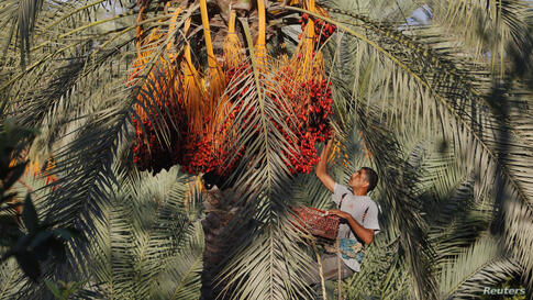 A Palestinian farmer harvests dates from a palm tree in Deir al-Balah in the central Gaza Strip.