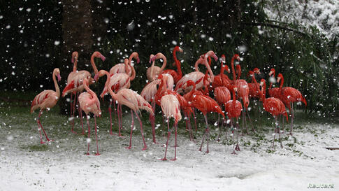 Flamingos stand in their enclosure during snowfall in winter in Jerusalem's Biblical Zoo.