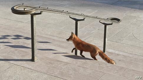 A fox strolls past the National Gallery of Art on the National Mall in Washington, D.C., Jan, 30, 2014. Foxes can be found in and around the city's Rock Creek Park but are not frequently seen in more densely populated areas of the U.S. capital.