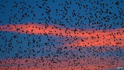 Flocks of ravens from northern Poland and Russia arrive in the southern Czech town of Zidlochovice.