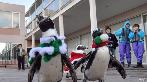 Cape penguins dressed in Christmas costumes take part in a Christmas event at the Hakkeijima Sea Paradise aquarium in Yokohama, suburban Tokyo, Japan.
