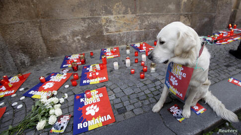 A dog sits near candles and placards placed in front of the Romanian embassy during a protest rally against the culling of stray dogs in Prague, Czech Republic. Romania's top court ruled in favour of a law to cull tens of thousands of stray dogs from t...