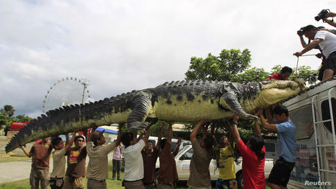 """Workers carefully unload 21-foot crocodile robot """"Longlong"""" from the roof of a van in Crocodile Park in Pasay city, metro Manila, Philippines, July 5, 2014."""