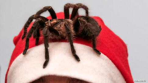 Amateur spider keeper, Yegor Konkin, dressed as Santa Claus, watches a venomous Phormictopus antillensis spider on his head as he prepares for Christmas and New Year performances at his parents' apartment Minusinsk in Russia.