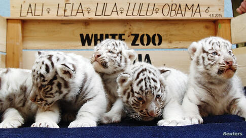 A litter of white Bengal tiger cubs at the White Zoo in Kernhof, Austria. The five cubs were born at the private zoo on May 25, 2014.