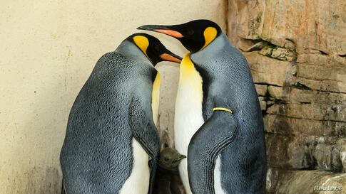 Two king penguins and their chick stand in their enclosure in the zoo of Schoenbrunn in Vienna, Austria, Sept. 21, 2016.