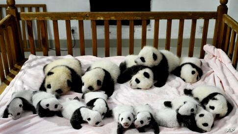 14 panda cubs are arranged in a crib for photos as they are shown to the public at the Giant Panda Breeding and Research Base in Chengdu, in southwest China's Sichuan province, Sept. 23, 2013.