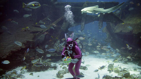 A diver dressed as the Easter Bunny swims among sharks, rays and other species of fish in the Shipwreck habitat at the South East Asia Aquarium of Resorts World Sentosa, a popular tourist attraction in Singapore. The performance is part of the Easter c...
