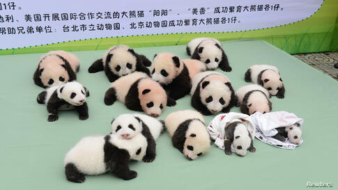 Giant panda cubs lie on a platform during a photo opportunity at the Bifengxia panda breeding center in Ya'an, Sichuan province, China. Fourteen cubs, which were all born in 2013, were shown to the public on Sunday.