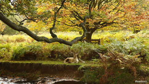 A deer rests by a river in Bradgate Park in Newtown Linford, central England.