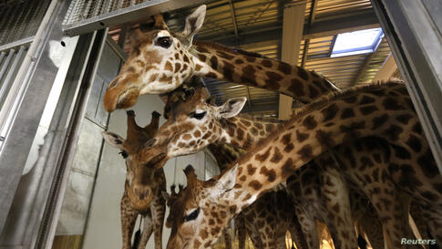 Giraffes feed inside their cage at the Paris Zoological Park in the Bois de Vincennes. The giraffes, one male and 16 females, remained at the zoo during its renovation. Inaugurated in 1934, the Paris Zoo will reopen in April 2014 after being closed for...