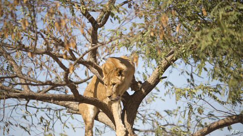 A female African lion stands on a tree at the Ramt Gan safari near Tel Aviv, Israel. Tree-climbing lions are relatively uncommon and are best known for their populations in Uganda's Queen Elizabeth National Park and Tanzania's Lake Manyara National Park.