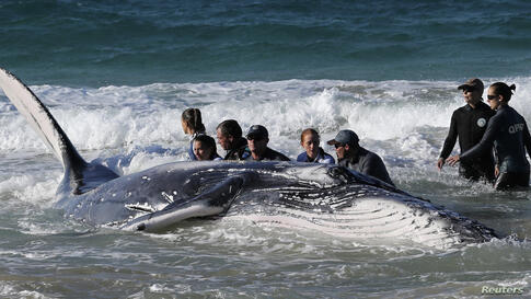 Marine rescue workers from Sea World attempt to help a juvenile humpback whale stranded at Palm Beach on the Gold Coast, in Queensland, Australia.