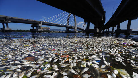 Dead fish are seen on the banks of the Guanabara Bay in Rio de Janeiro, Brazil.