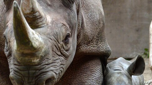 A two-week old Rhino and its mother walk around their enclouser at the zoo in Leipzig, eastern Germany.