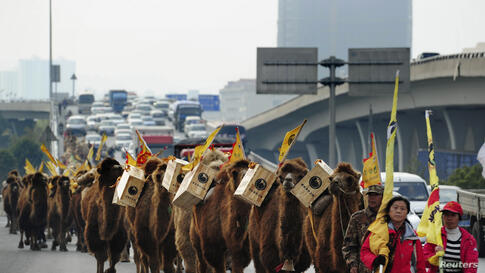 About 100 camels carrying boxes of tea walk on a highway during an event re-enacting the ancient tea trade journey from China to Europe in Changsha, Hunan province.