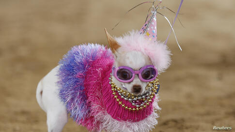 Bianca, a chihuahua, competes in the second annual Doggie Gras Parade and Fat Cat Tuesday Celebration at the Helen Woodward Animal Center in Rancho Santa Fe, California, Mar. 4, 2014. Bianca won the contest and was named queen of the doggie Gras parade.