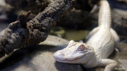 One of the two one-year-old albino alligators is seen in a vivarium at the Tropical aquarium in Paris, France. The two alligators are the result of a captive breeding program which protects endangered species and will be presented to the public in a vi...