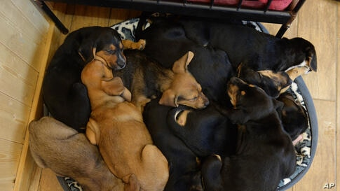 Young crossbreed dogs cuddle up in a small basket at Gut Aiderbichl in Henndorf, in the Austrian province of Salzburg, Dec. 4, 2013. Gut Aiderbichl is a place of mercy for rescued animals.