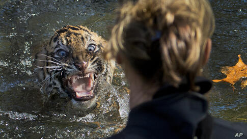 """A three-month-old Sumatran tiger cub named """"Bandar"""" shows his displeasure after being dunked in the tiger exhibit moat for a swim reliability test at the National Zoo in Washington, Nov. 6, 2013. All cubs born at the zoo must take a swim test before be..."""