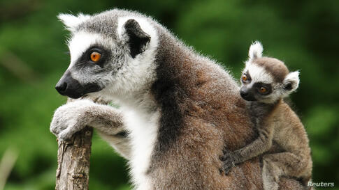 A Lemur catta, also known as ring-tailed lemur, with its three-week-old cub clinging to its back sits on a tree at the Schoenbrunn Zoo in Vienna, Austria.