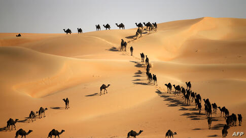 Camels walk along sand dunes in the Liwa desert, 220 km west of Abu Dhabi, United Arabs Emirates, as the Mazayin Dhafra Camel Festival takes place.