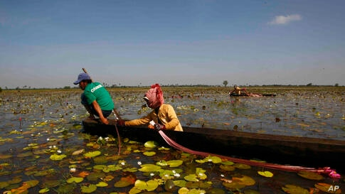 A Cambodian family collects water lilies from O-Treng lake to sell at a market, in Kampong Speu province, some 45 kilometers (28 miles) southwest of Phnom Penh. Locals purchase the lilies as an ingredient for soup.