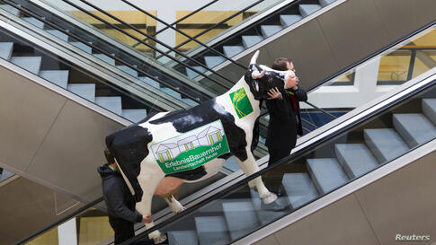 Men carry a fake cow while riding an escalator during preparations for the Green Week international food, agriculture and horticulture fair in Berlin, Germany.