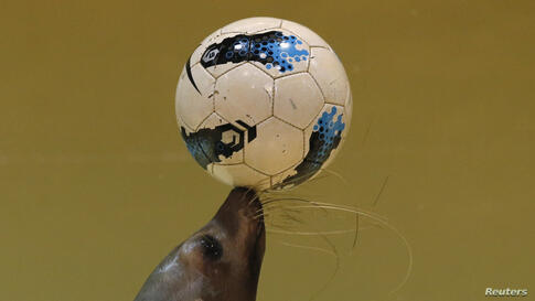 Twenty-one-year-old female seal Sarasa controls a soccer ball at the Shinagawa Aqua Stadium aquarium in Tokyo, Japan, during an event cheering for Japan's national soccer team's success at the upcoming the 2014 World Cup soccer tournament.